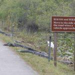 Hikers and Bikers: Beware of 'Gators!