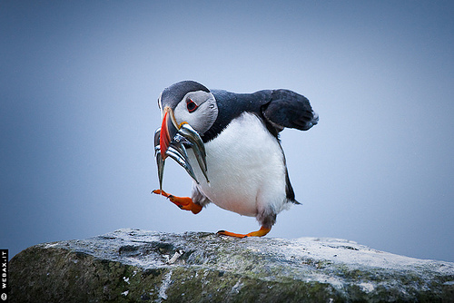 Walking can be hazardous. But puffin crossings are one way to make pedestrians safer. Photo via webax.it.