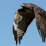 Guiding Pedestrians: HAWKs in the Lead, While Pelicans and Puffins Fall Behind