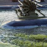 Algae: Biofuel of the Future?